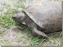 tortoise_lifeinbonitasprings